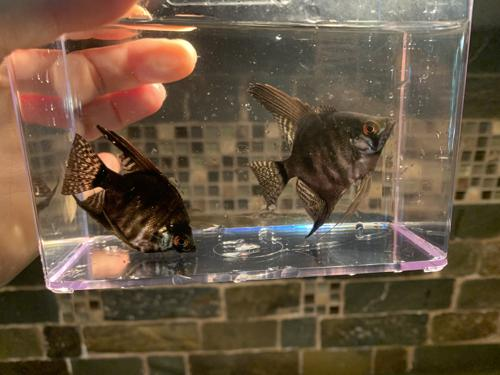 SMALL Blue marble and Dark Blue Pinoy Angelfish - 3 pack