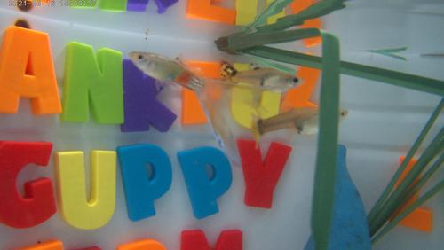 1 PARADISE SWALLOW TAIL, and 2 YOUNG AND PRETTY GUPPIES, Breeder Trio BP#04-1