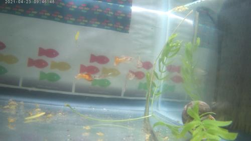 Great Color MP#019  Young Males Guppies $1.49 each