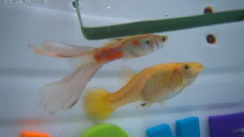 Paradise Swallow Tail and Golden Jewel Breeder Pair BP#04-4