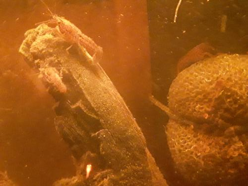 Self Cloning Crayfish