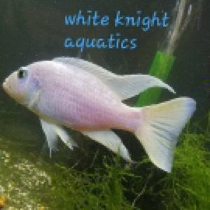 White Knight Aquatics Logo
