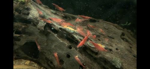10 + 2 FREE Red Cherry Shrimp (Neocaridina)