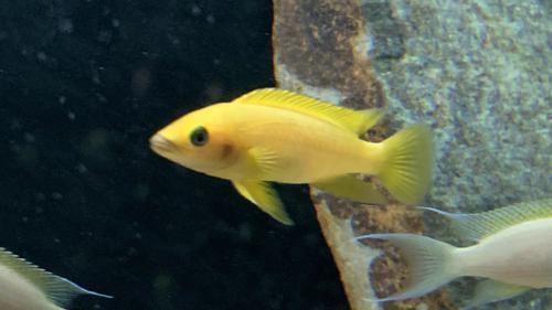 "Yellow Lemon Cichlid (2"")"