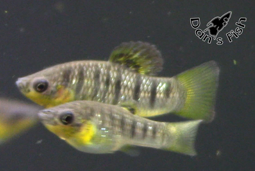 Awesome Wild Livebearer 6 unsexed fry