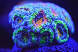 Saltwater Corals
