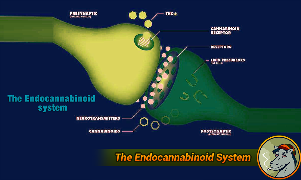 Cannabinoids and the Endocannabinoid System