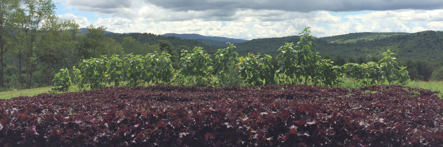 Shiso and the field