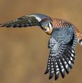 Kestrel Linder photo