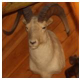 Big Horn Ram animal mount