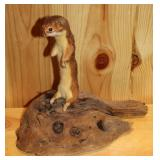 small rodents- Taxidermy,