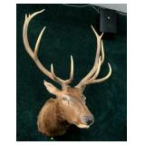 6x6 Red Stag trophy mount