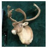 Caribou Trophy Mount (in Velvet)