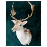 Fallon Deer trophy mount