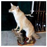 Coyote full mount
