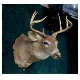 8 Point whitetail trophy mount