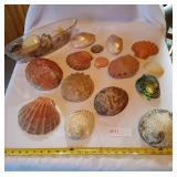 Large Lot Clam/Wing Type Seashells