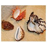 #88a  Cowrie, Spiny Oyster, Vasum Turbinellus, Blowfish