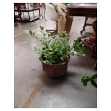 Live plant in terracotta pot