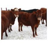 yearling steer
