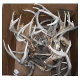 Box of 11 Whitetail Buck Trophy Antler Collection