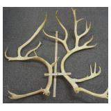 Alaska-Yukon Barren Ground Caribou Antlers