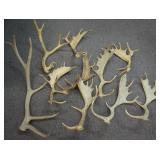 Elk and Fallow Deer Antlers
