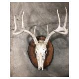 Mounted Deer skull and antlers