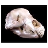 Excellent Large Alaskan Kodiak Grizzly Bear Skull