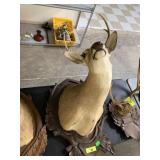 WHITE TAIL DEER TAXIDERMY MOUNT