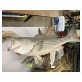 LARGE STRIBED BASS FISH TAXIDERMY MOUNT