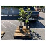 PALLET WITH 2 PLANTS