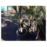 1 PALLET OF 6 POTTED PALM TREES
