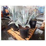 1 PALLET OF 4 POTTED PLANTS
