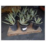 1 LOT OF APPROX. 10 POTTED PLANTS