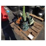 1 LOT OF APPROX. 6 POTTED PLANTS CACTI & MORE