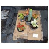 1 PALLET OF 6 POTTED PLANTS CACTI, ETC.
