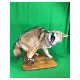 Coyote in Trap on Wood Plaque