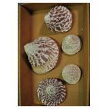 Seashells, Archaeogastropoda Trochacea 5 Pcs