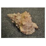 """Seashells, Mesogastropoda Tonnacea 7 1/2"""""""