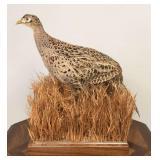 Female ring-neck pheasant in grass