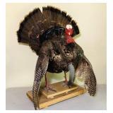 "Full Body Turkey Mount, 8"" Beard, Nicely Done!"