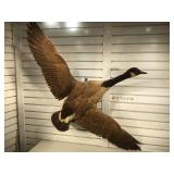 Taxidermy full Canadian Goose