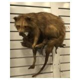 Taxidermy raccoon on wood branch wall hanging