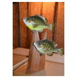 Lake Panasoffkee pan fish