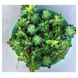Succulent Art Plant Lot of 22 With Serving Tray