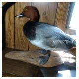 Redhead Duck mount
