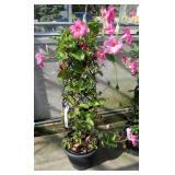 Tropical Mandevilla Flowering Vine