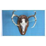 8 Point Rack w/Deer Skull Mount