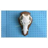 Boar Skull Wall Mount
